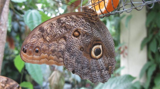 owlbutterfly2