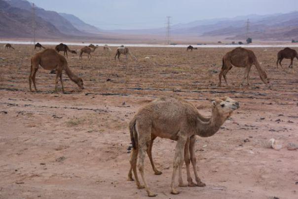 Free range camels
